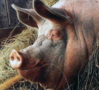10 most famous pigs in the History