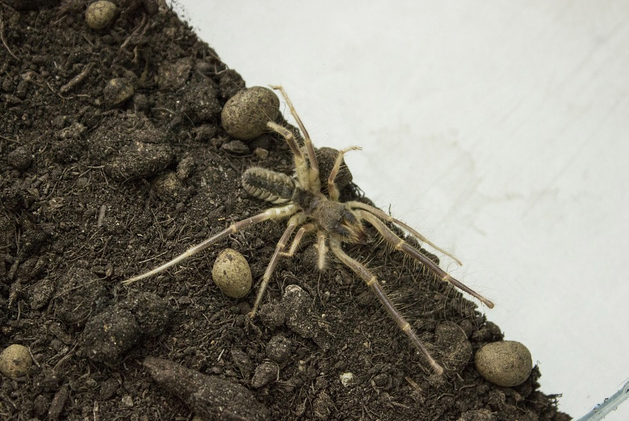 Camel Spider Facts - Interesting facts about Spiders