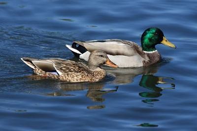 Duck`s quak does echo