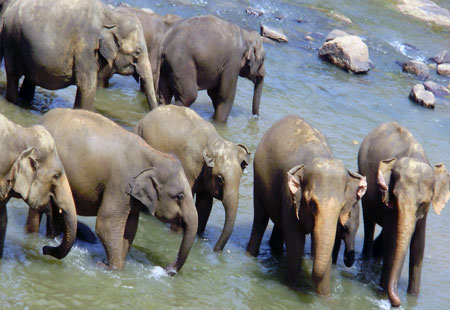 African Elephants Drink Water