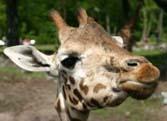 Giraffe - Amazing animals