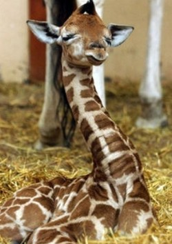 Interesting facts about baby giraffe