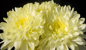 Edible Chrysantemums