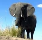 Strange Animal Facts - Elephant
