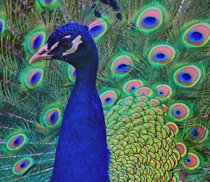 Fun Facts about PEACOCKS!!!