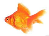 Interesting facts about Gold Fish
