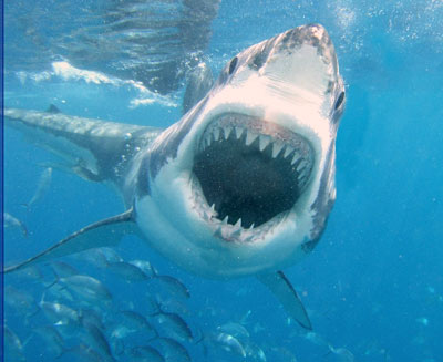 Interesting facts about great white sharks