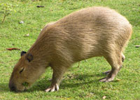 Interesting facst about Capibara