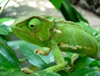 Interesting facts about Chameleon