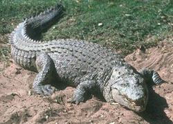 Interesting facts about crocodile`s meat