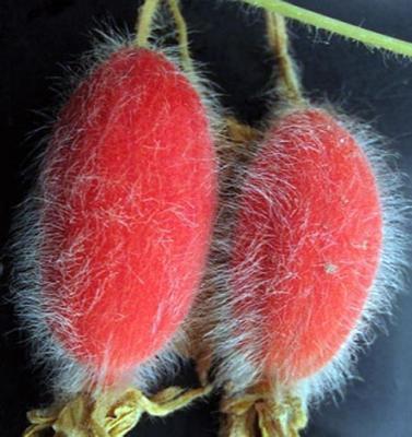Red Cucumbers