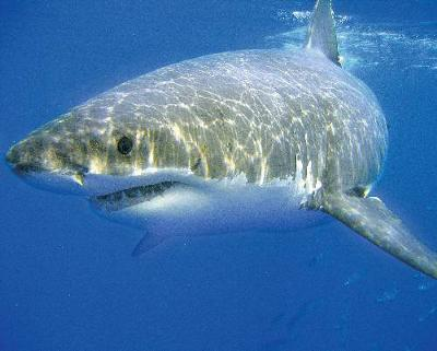 Interesting facts about white sharks