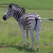Amazing Zebras