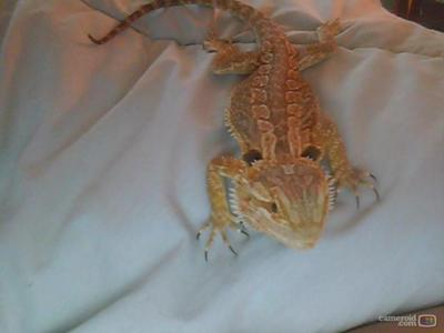 This is my bearded dragon