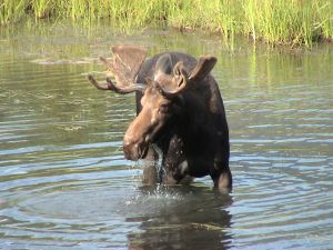 Interesting facts about Moose