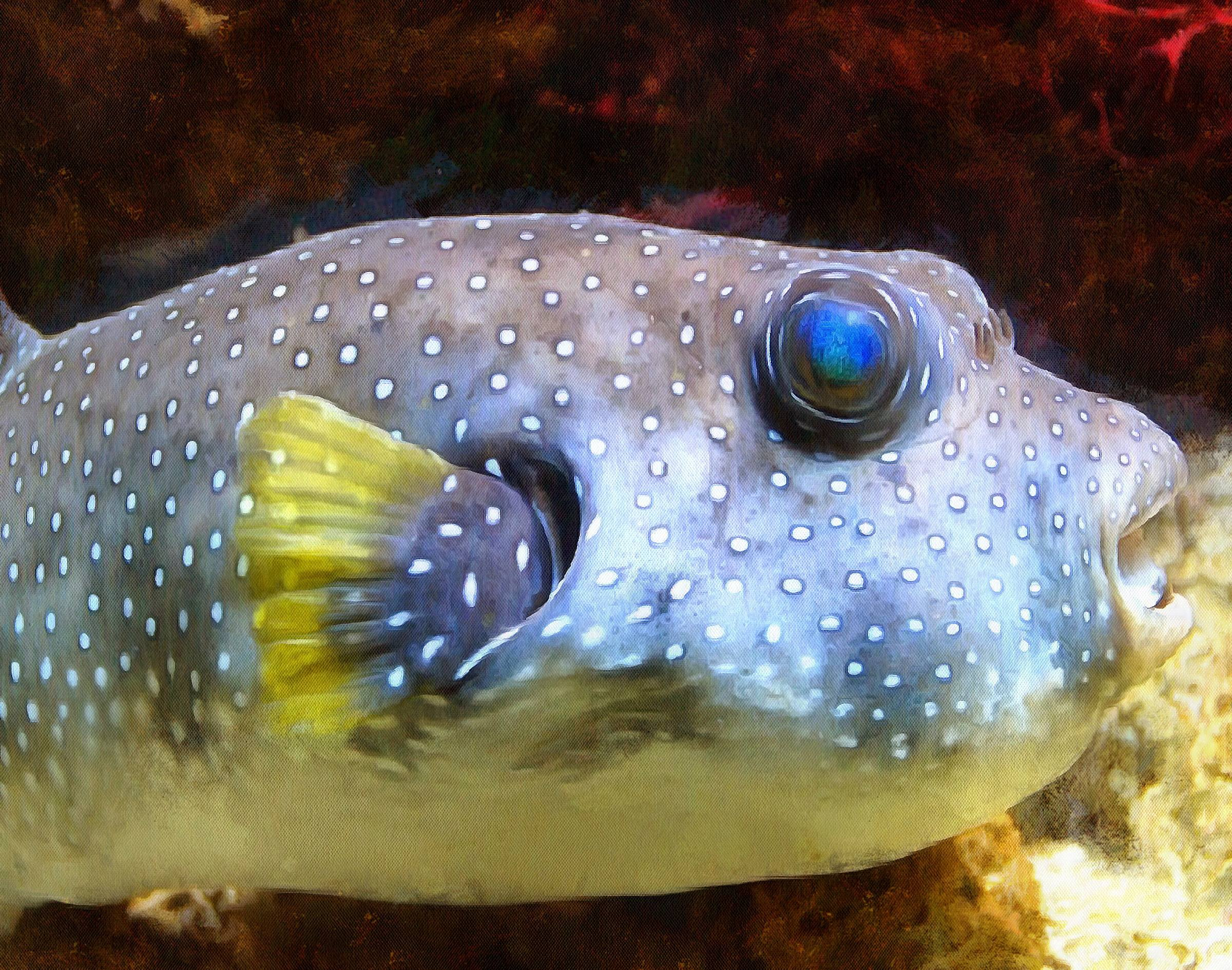 Puffer fish facts interesting facts about puffer fish for Mini puffer fish
