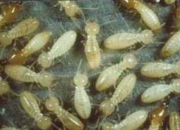 Interesting Facts about Food, Termites