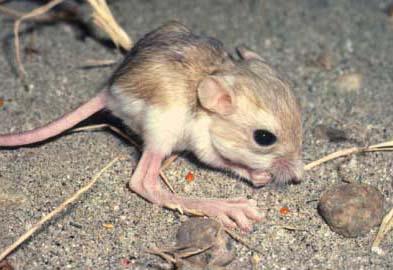 The Kangaroo Rat