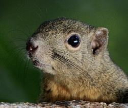 Asian Squirrel