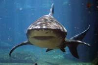 Amazing Shark
