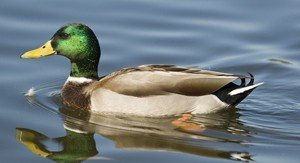 Interesting facts about Ducks