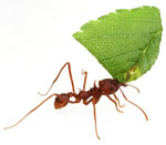 Amazing leas cutting ant