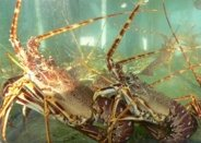 Strange Facts About Lobsters