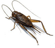 South African Crickets